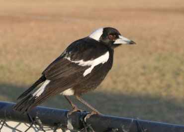 All hail the mighty magpie: 3 tips on coping with swooping season